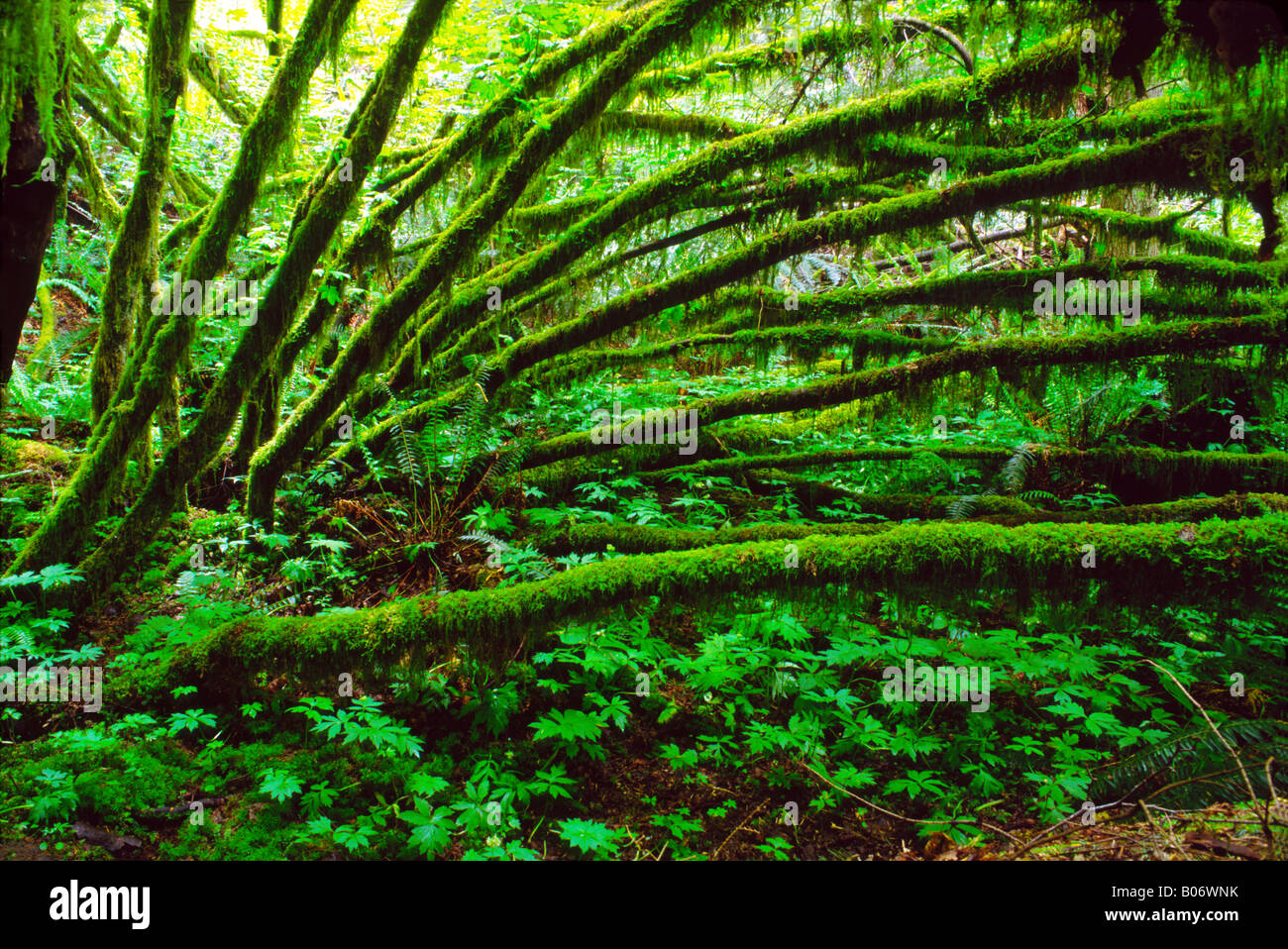 Mossy branches in the summer forms a catherdral-like covering of the forest floor, Tiger Mountain, Washington State, Stock Photo