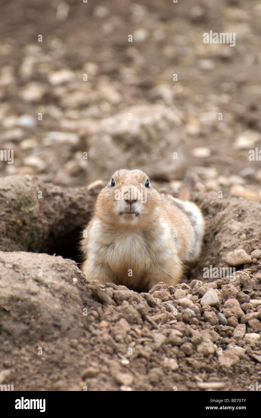 prairie dogemerging from burrow shot 02 and looking at camera number 2677 - Stock Image