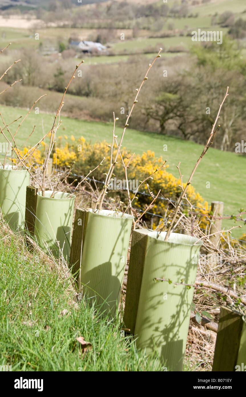 Newly Planted Young Hazel And Hawthorn Hedge Saplings Protected By