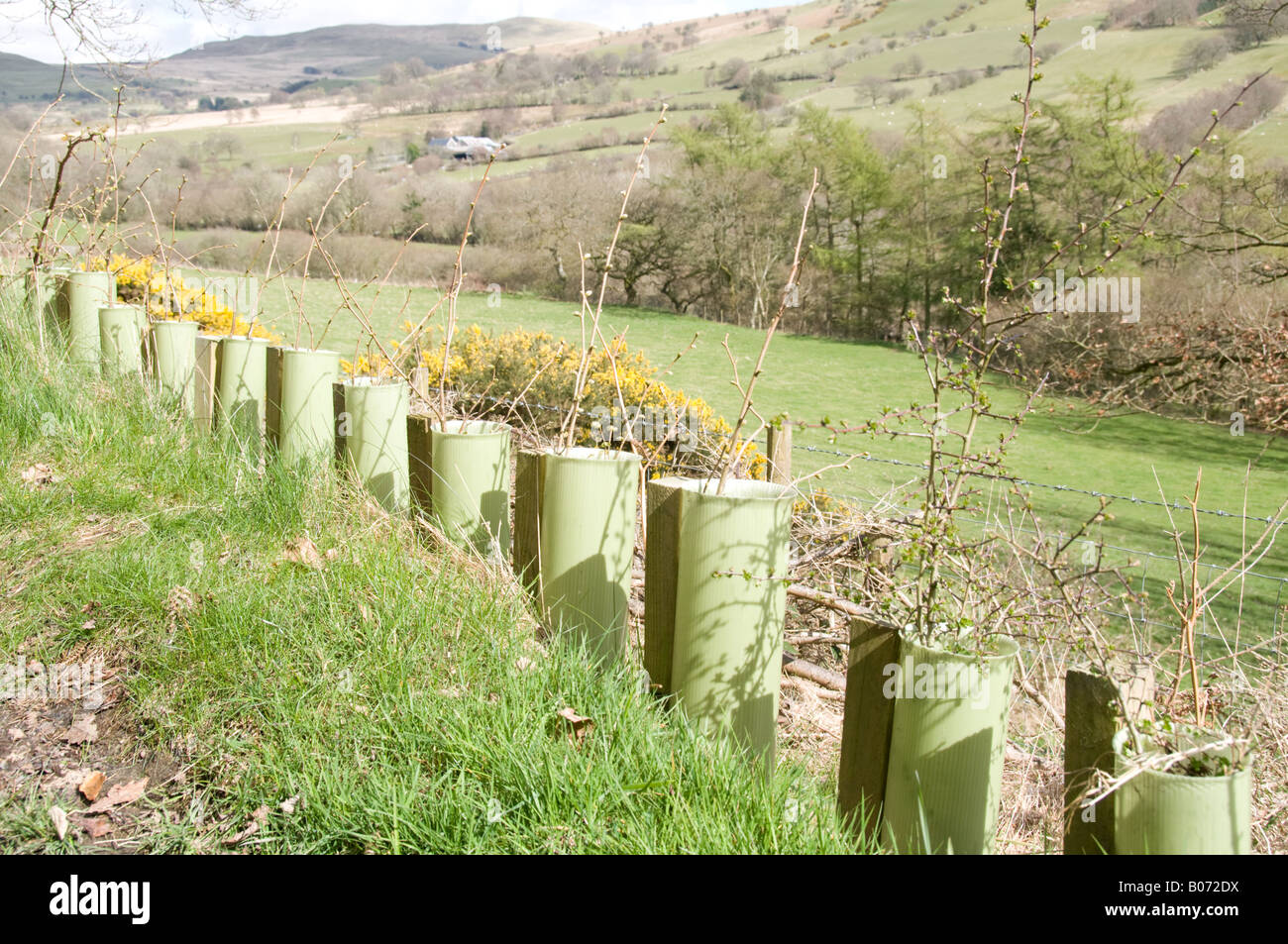 New Planted Young Hazel And Hawthorn Hedge Saplings Protected By