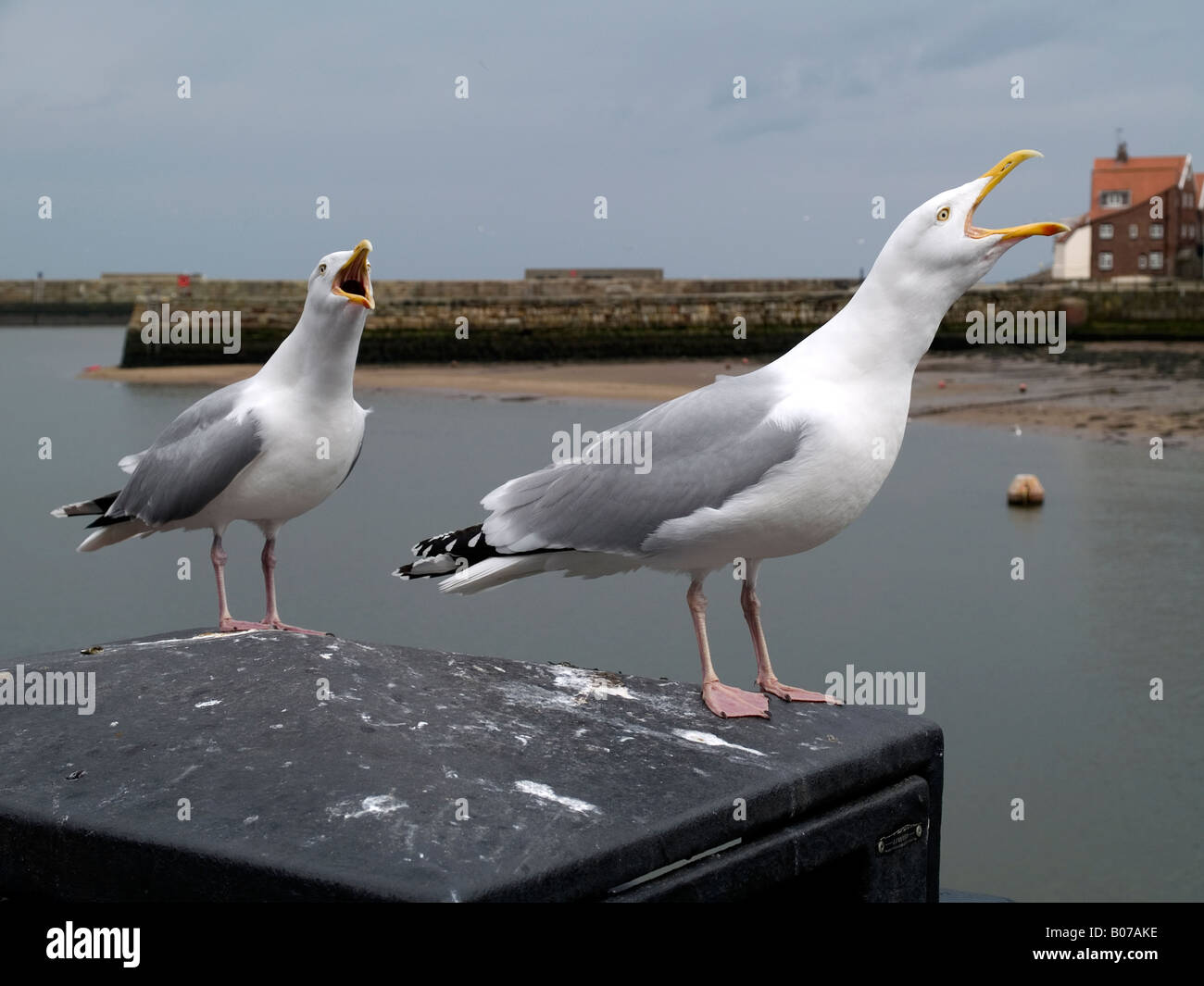 Two herring gulls Larus argentatus calling whilst perched on a bin in Whitby North Yorkshire England UK - Stock Image