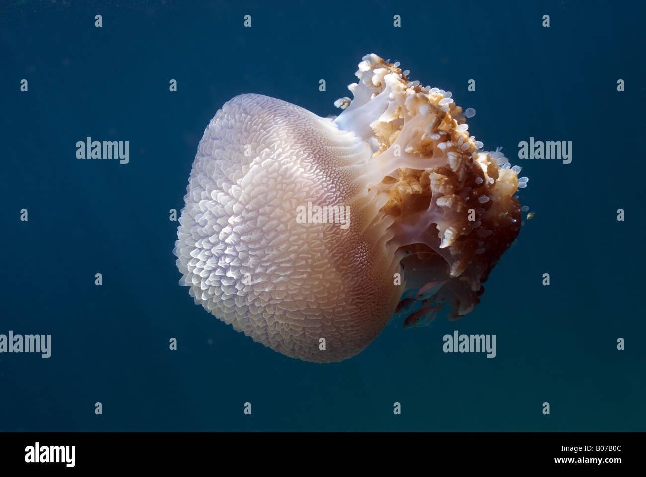 Jellyfish under water Stock Photo