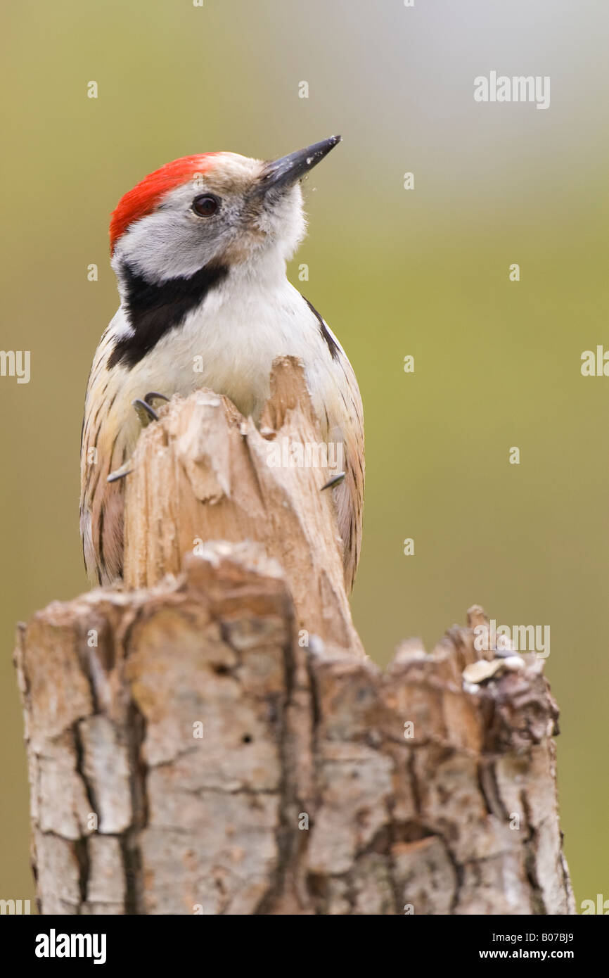 Middle Spotted Woodpecker (Dendrocopos medius) perched on broken tree stump - Stock Image