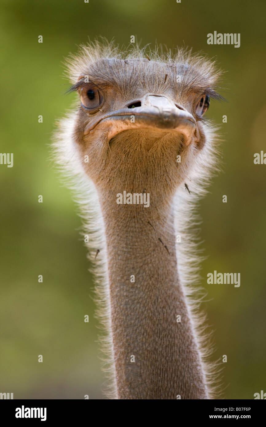 Ostrich, Lewa Wildlife Conservancy, Kenya - Stock Image