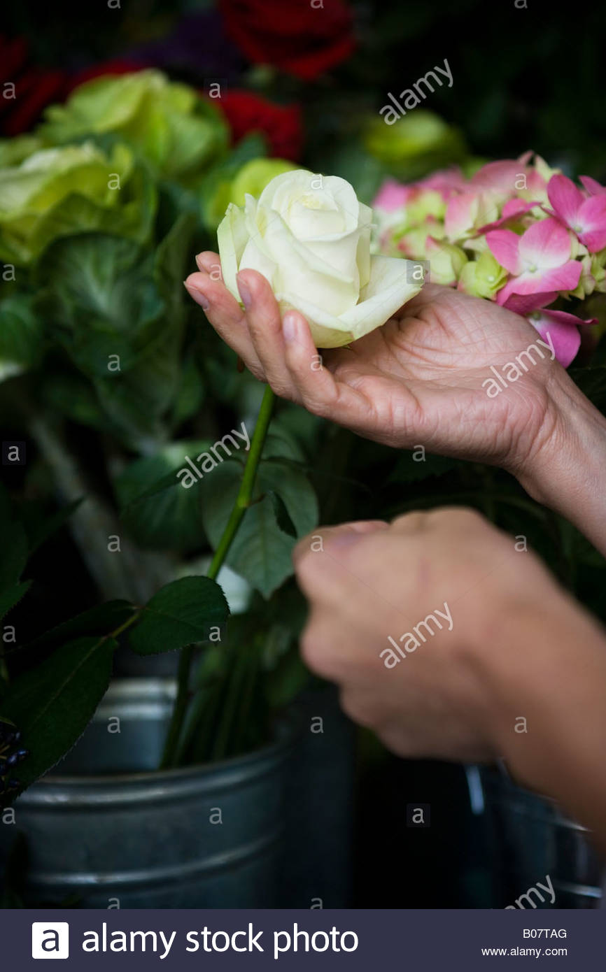 Hand holding a white rose in a pot of flowers - Stock Image