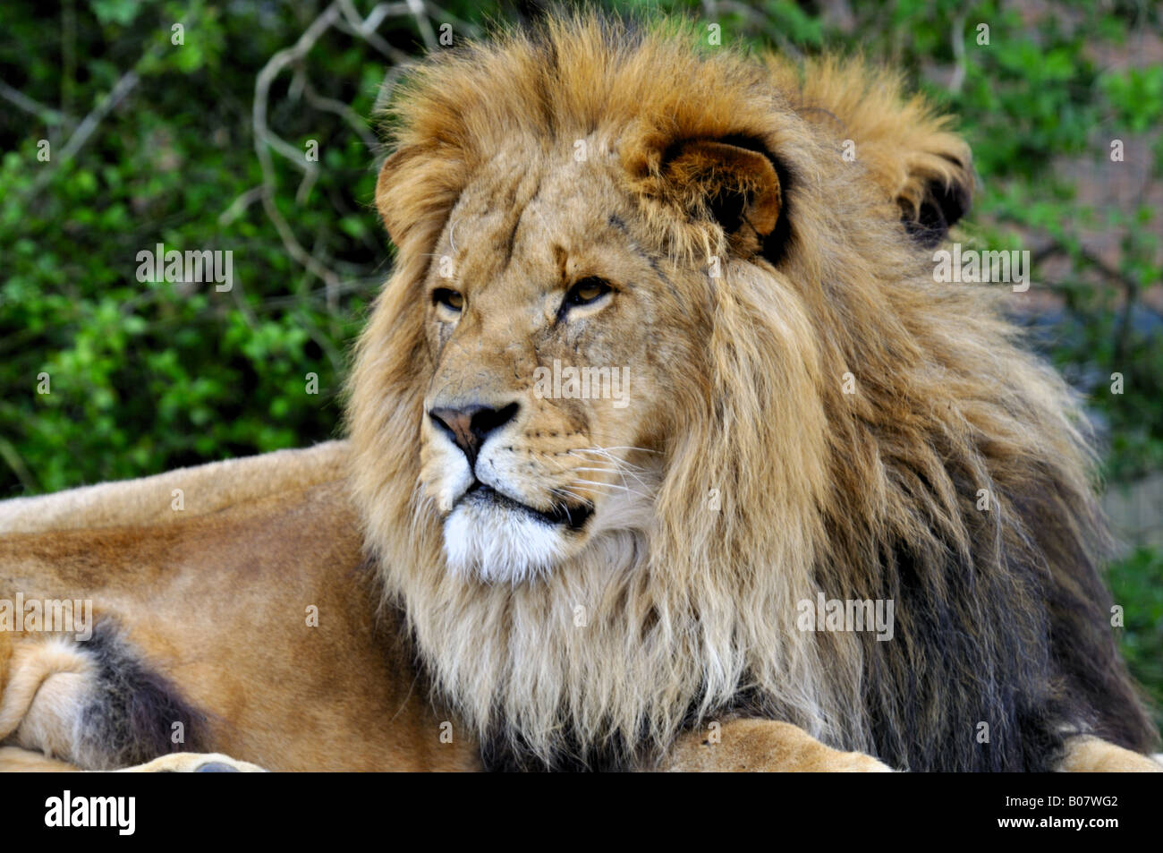 Lion (Panthera leo) - Stock Image