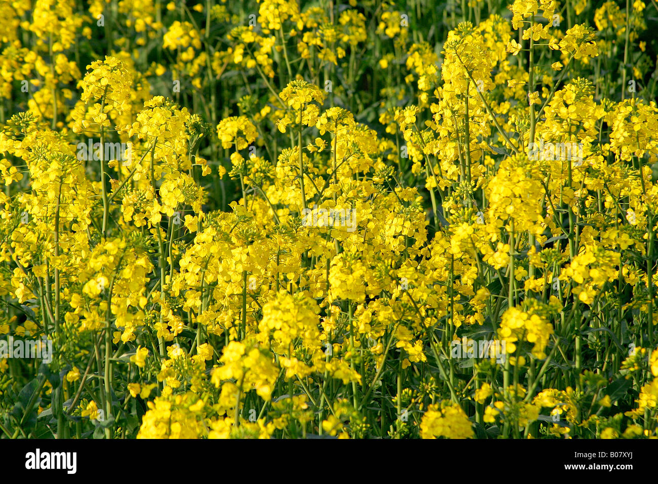 Fields of yellow oilseed rape flower crops spring cambridgeshire fields of yellow oilseed rape flower crops spring cambridgeshire england britain uk mightylinksfo