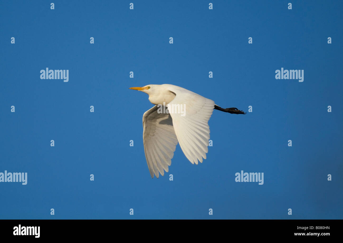 Cattle Egret (Bubulcus ibis) in the National Park of Circeo in Italy - Stock Image