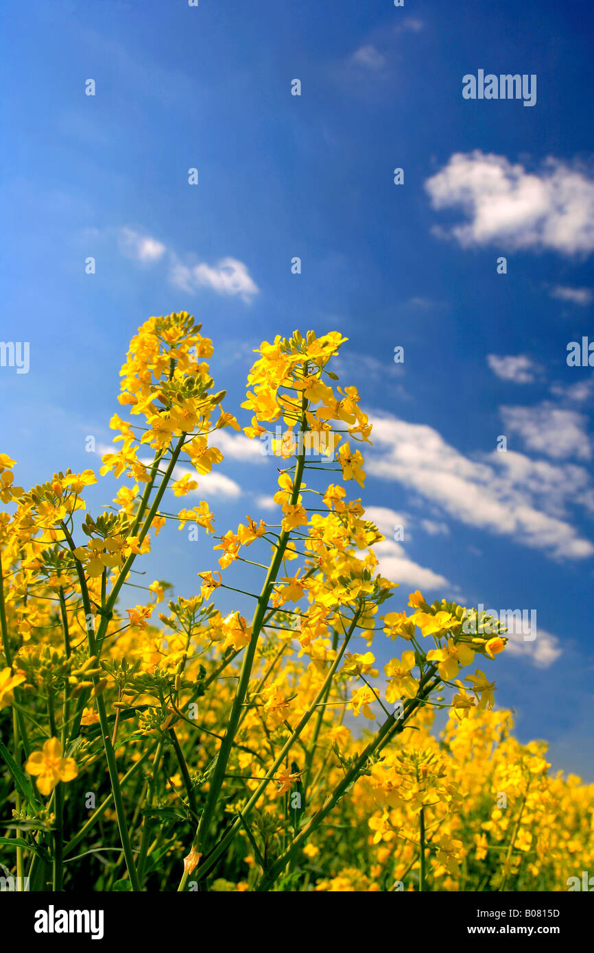 What Are The Fields Of Yellow Flowers In England Beautiful Flower 2017