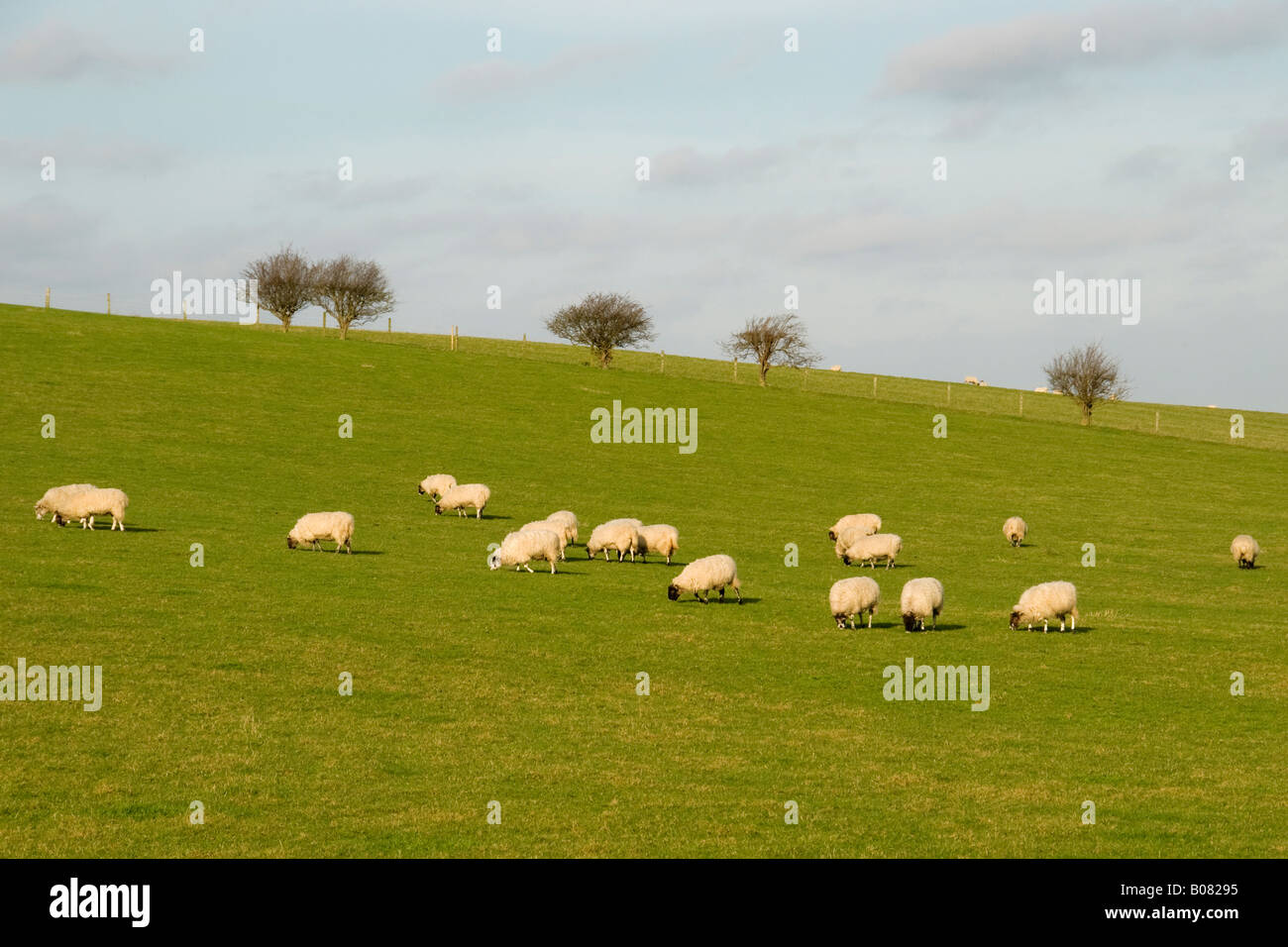 Sheep in a field near Tring, Hertfordshire, England, UK Stock Photo