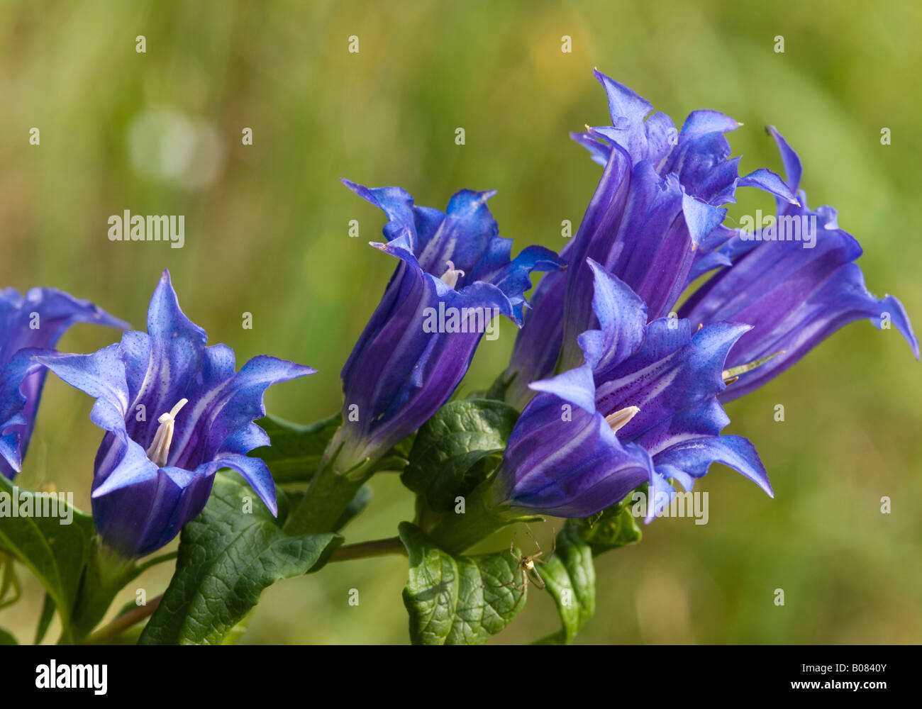 Willow Gentian (Gentiana asclepiadea), flowers - Stock Image