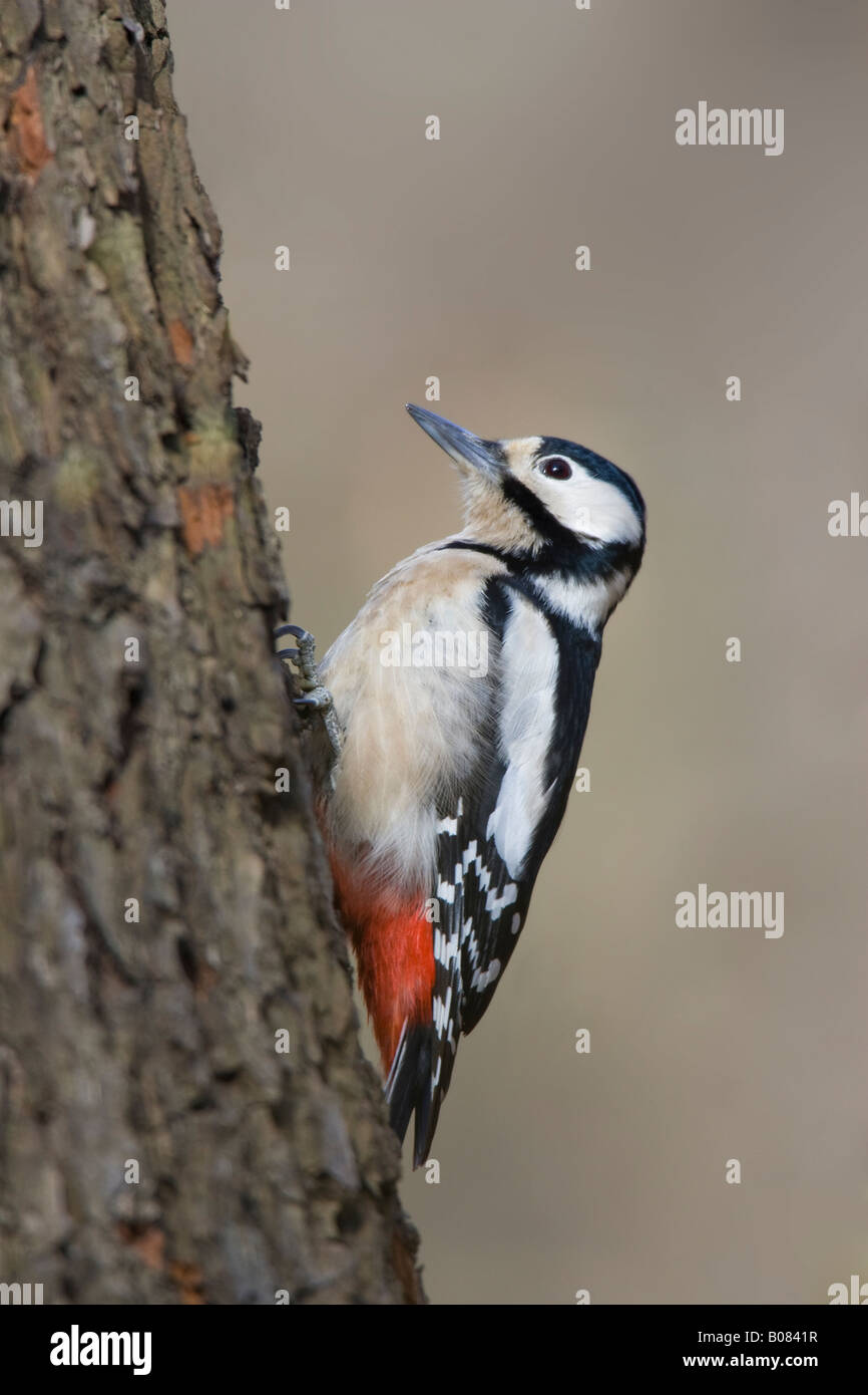 Female Great Spotted Woodpecker (Dendrocopos major) climbing tree - Stock Image