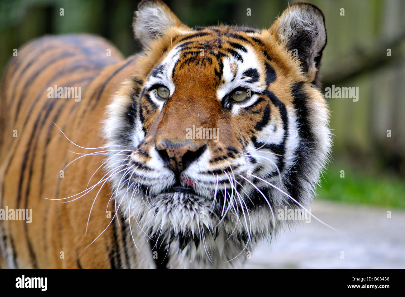 Tiger sticking his tounge out - Stock Image