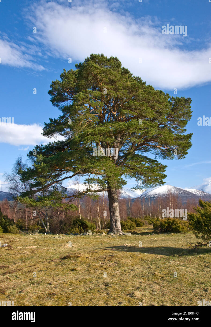 Scots pine tree at Tulloch Grue in Rothiemurchus near Aviemore in the Cairngorms National Park Scotland - Stock Image