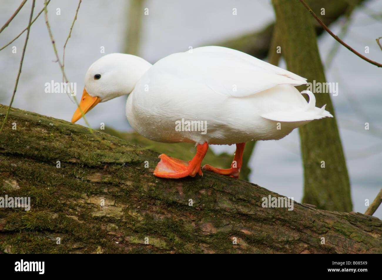White duck (4) climbing a tree - Stock Image
