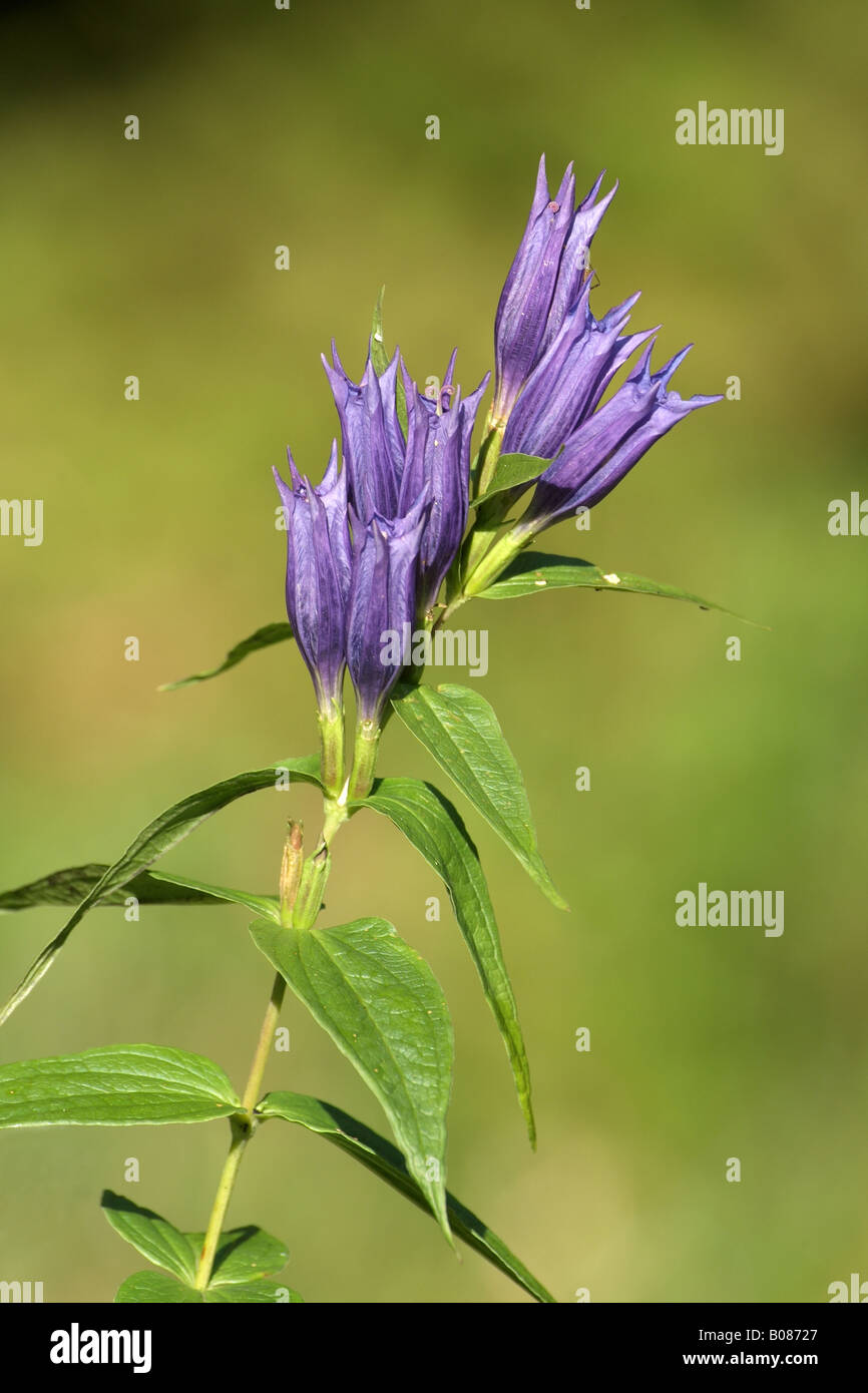 Willow Gentian (Gentiana asclepiadea), flowering - Stock Image