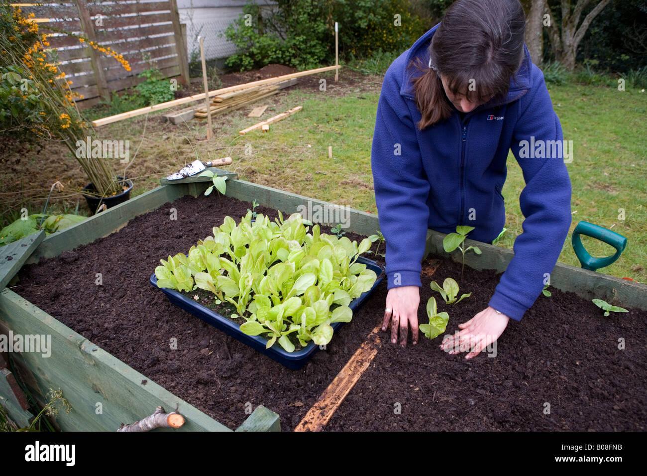 Woman gardener planting vegetables in her garden in raised beds, Inverness, Scotland - Stock Image