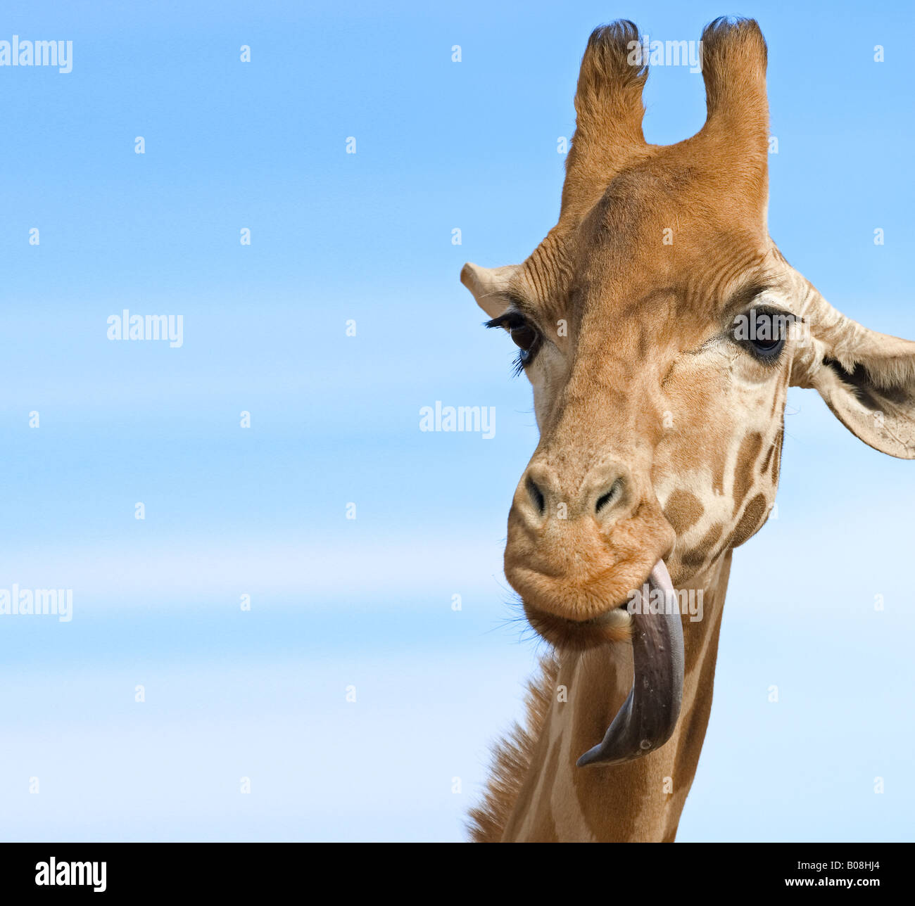 a close up of a giraffe with its long tongue out looking stupid lots of opy space - Stock Image