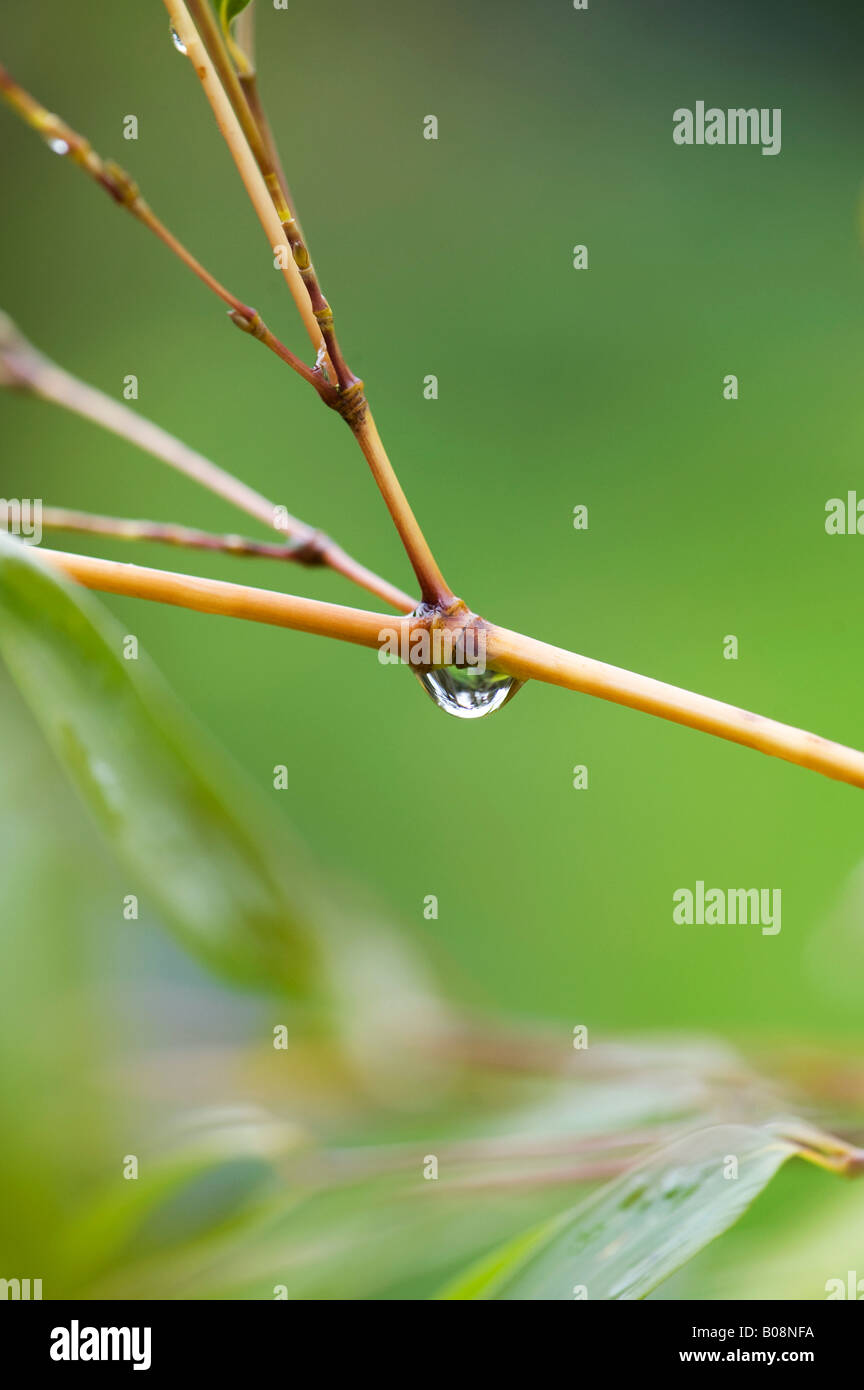 Water drop on bamboo stem - Stock Image