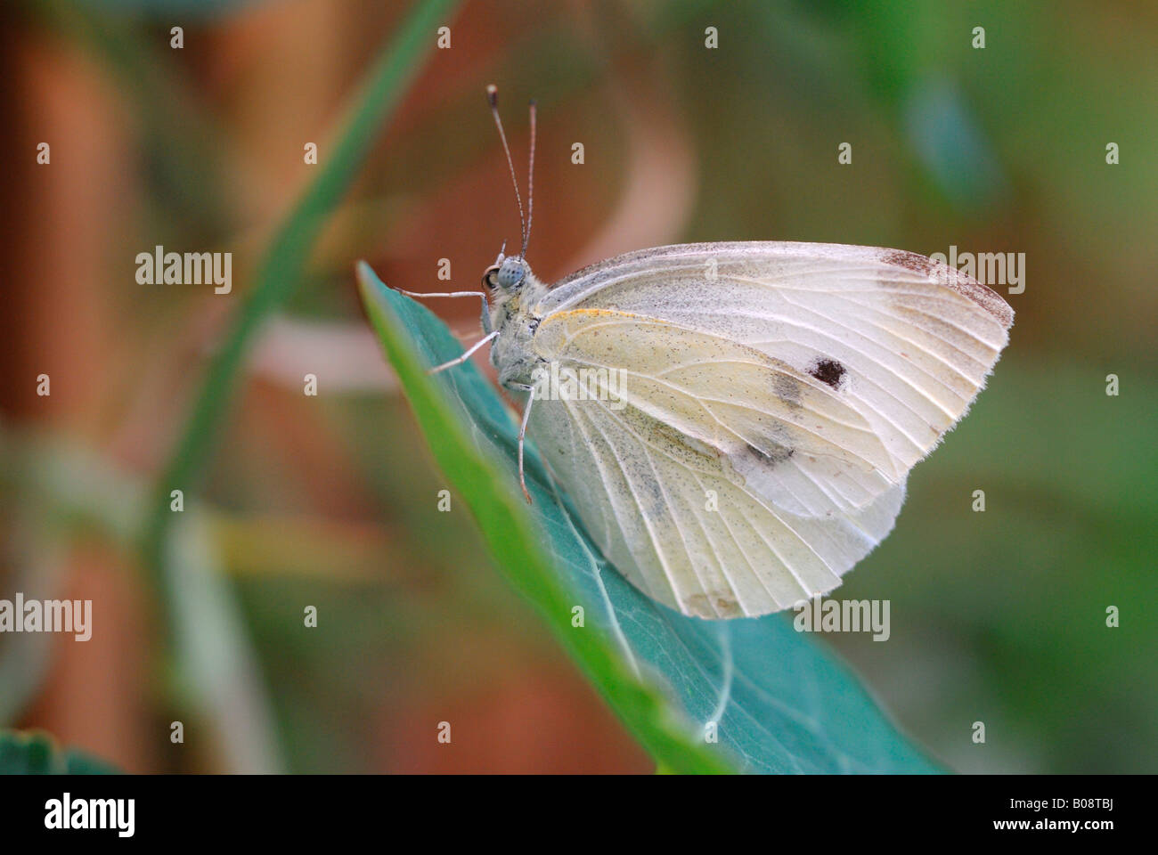 Large White or Cabbage White butterfly (Pieris brassicae) - Stock Image