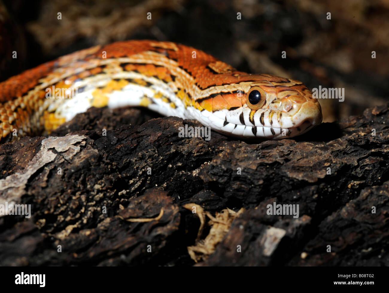 Corn Snake (Elaphe guttata guttata) - Stock Image