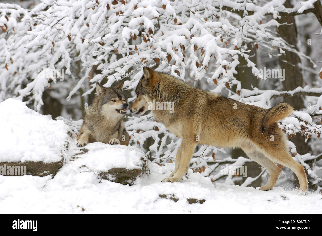 Two Mackenzie Valley Wolves, Rocky Mountain Wolves, Alaskan - or Canadian Timber Wolves (Canis lupus occidentalis) - Stock Image
