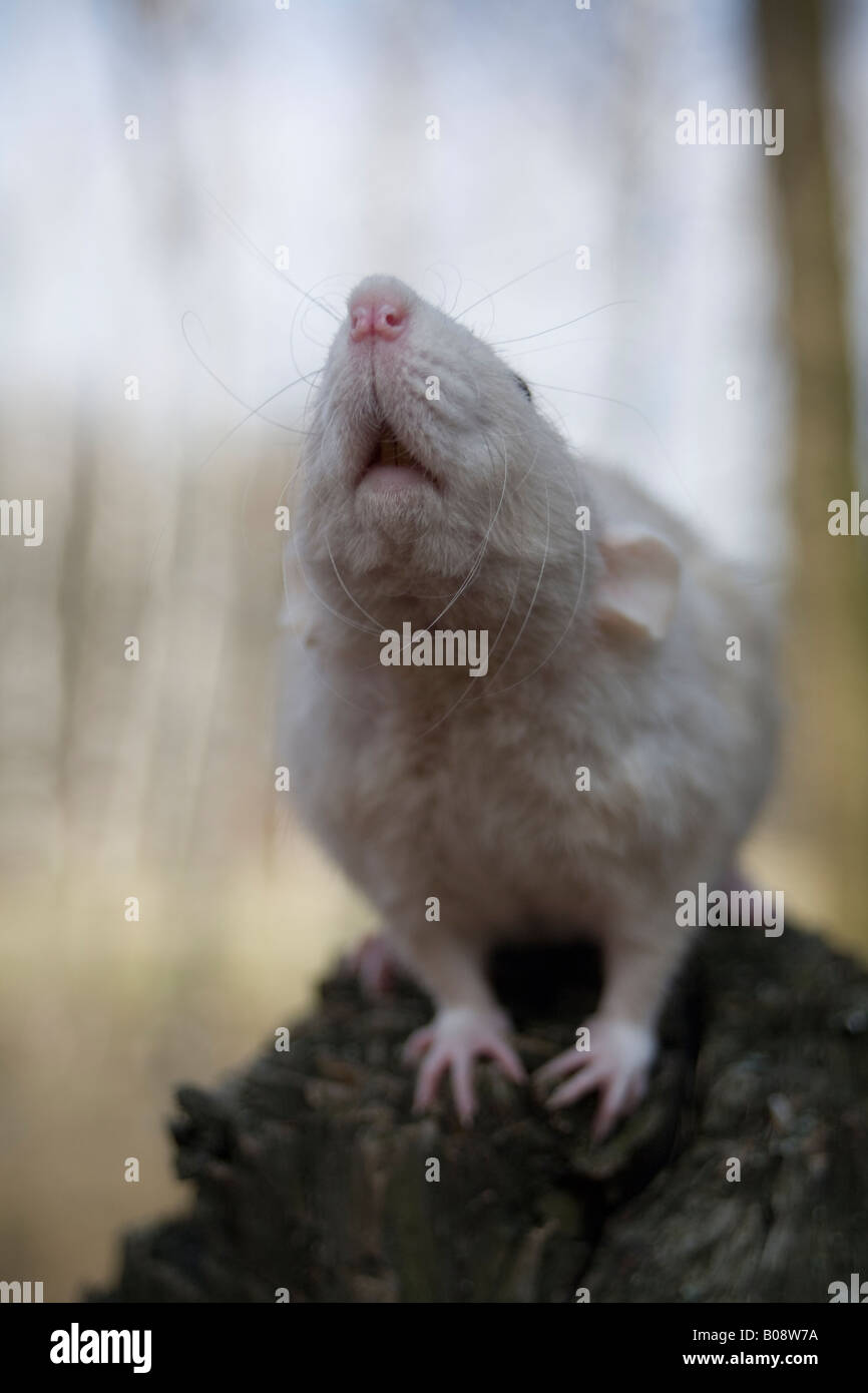 Dumbo Rat - Stock Image