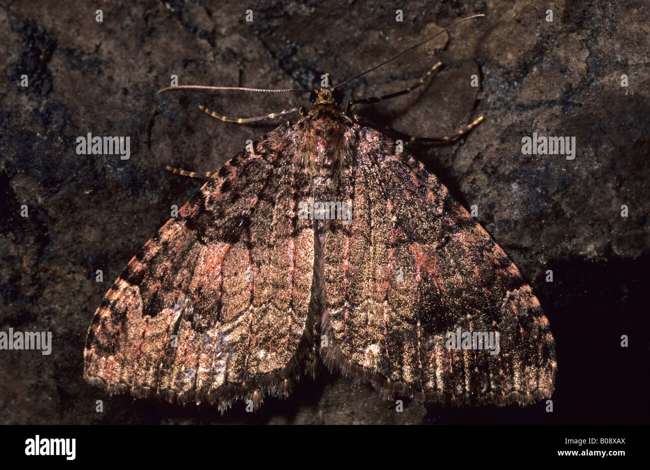 Moth (Triphosa sabaudiata) hibernating in a cave - Stock Image