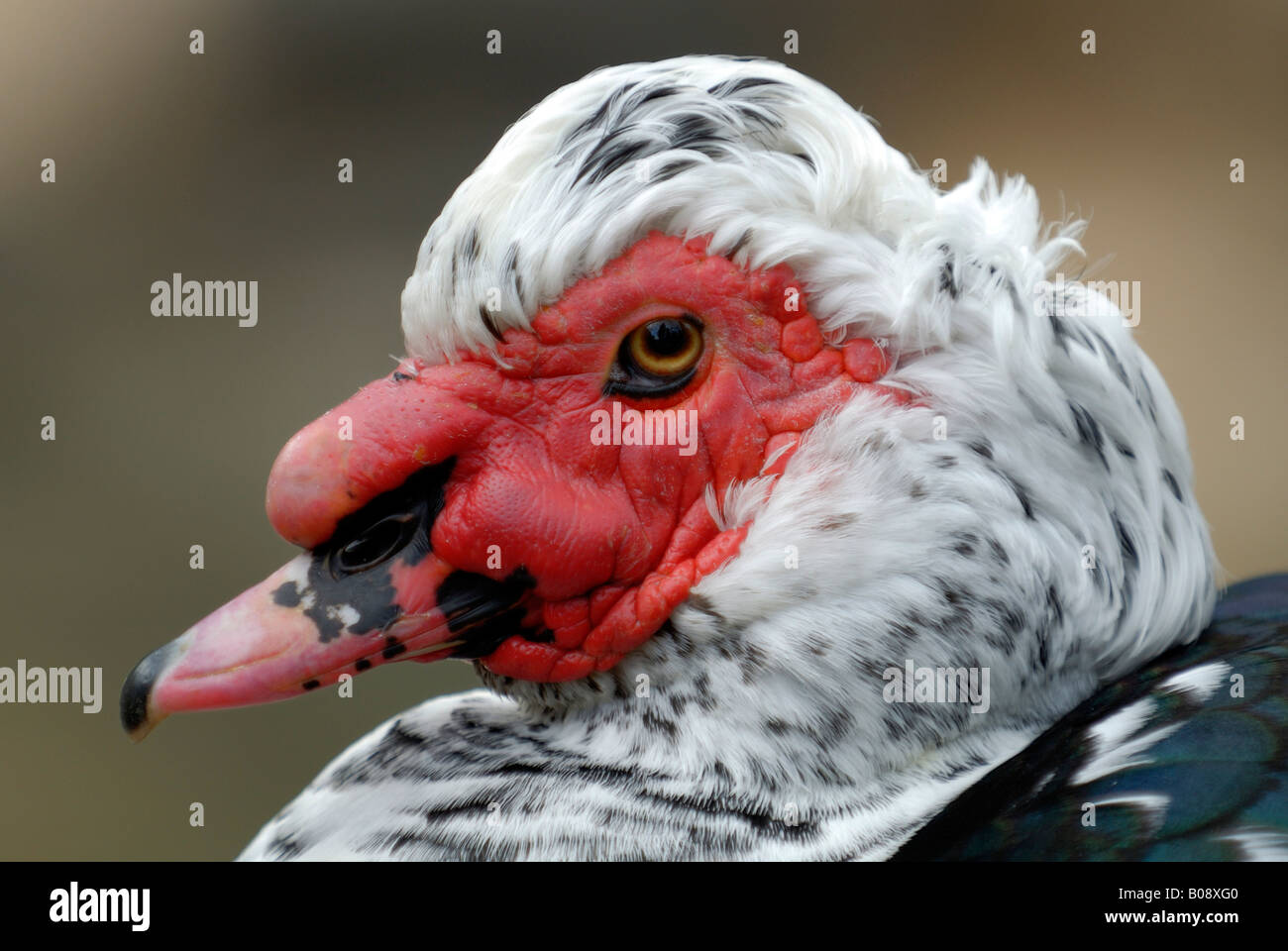Portrait of a domesticated Muscovy Duck (Cairina moschata) - Stock Image