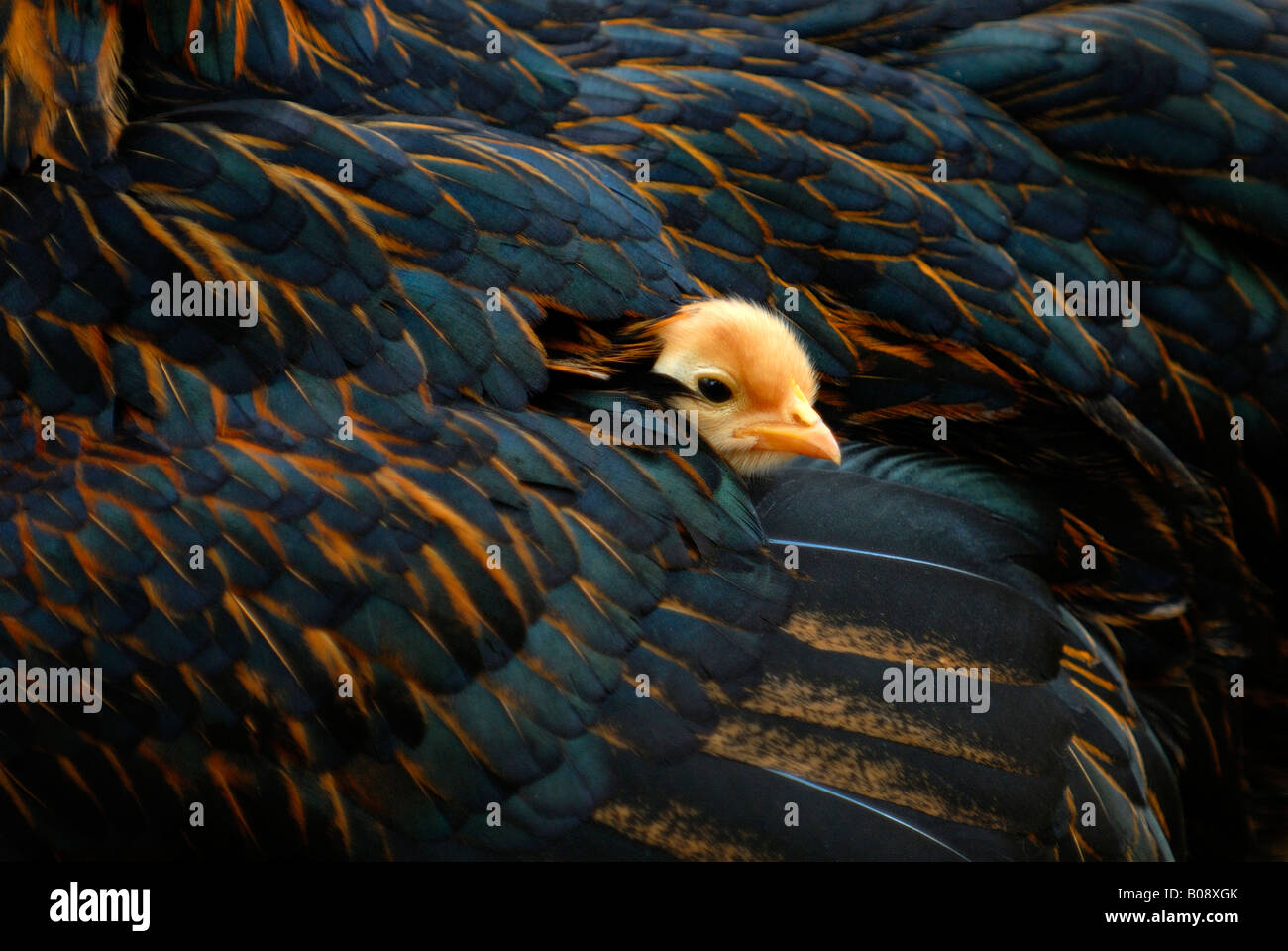 Chick peaking out from its mother's feathers Stock Photo