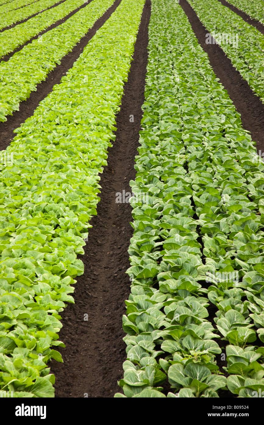 Napa Cabbage & Bok Choy. - Stock Image