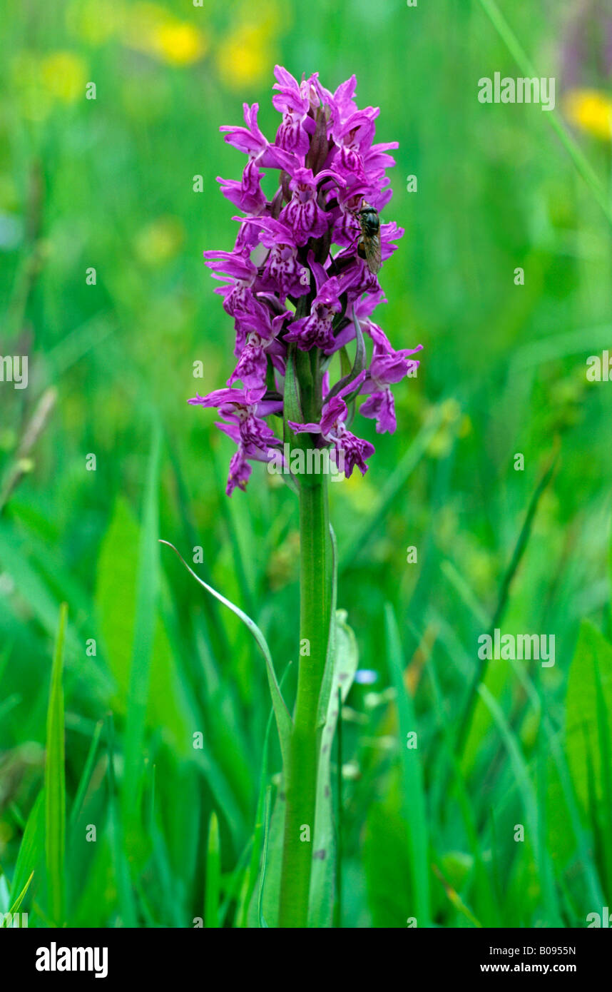 Western Marsh Orchid, Fan Orchid (Dactylorhiza majalis), orchid family - Stock Image