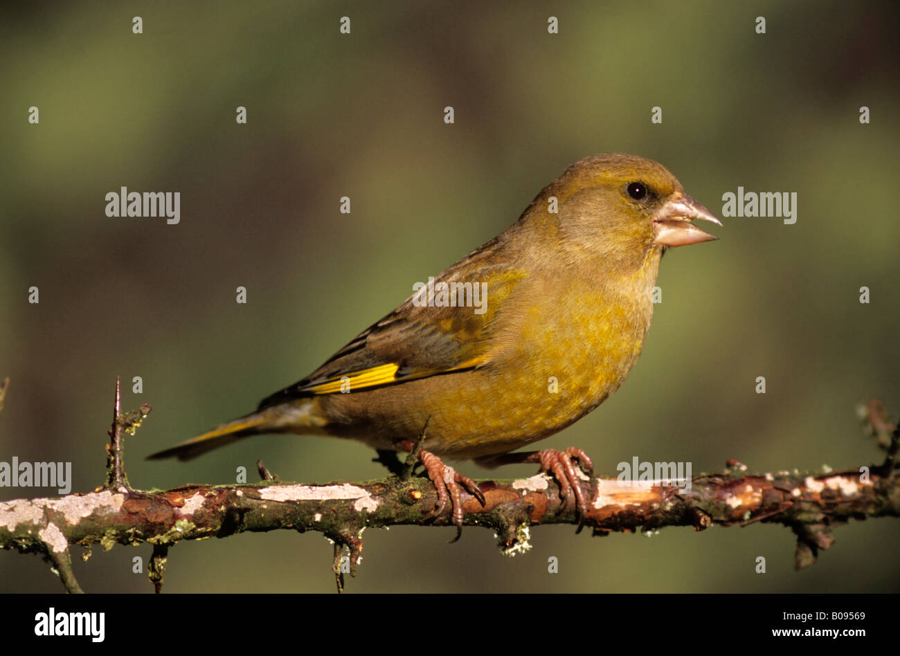 European Greenfinch (Carduelis chloris), finch family - Stock Image