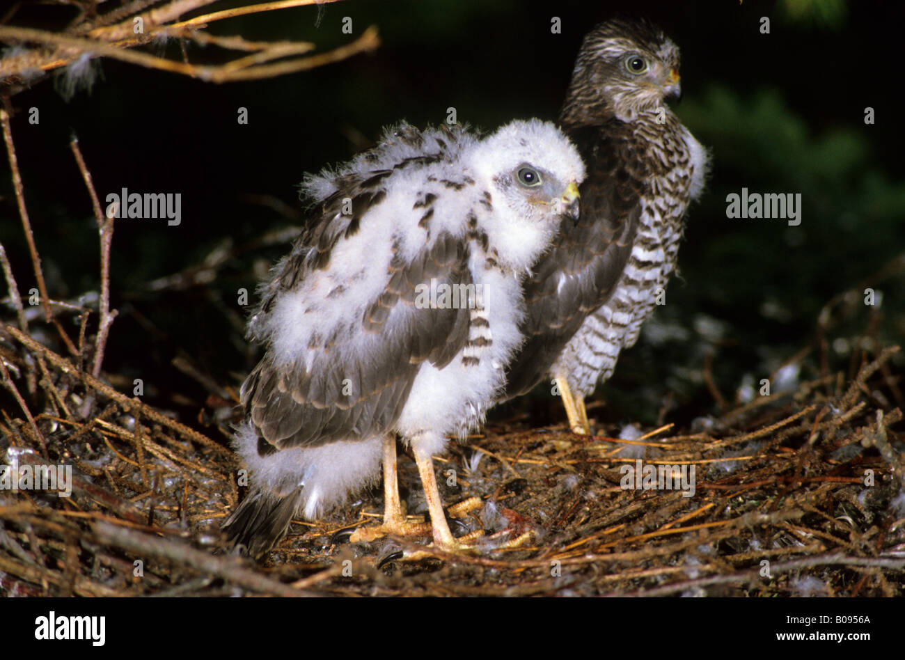 Eurasian Sparrowhawk (Accipiter nisus), Accipitridae family, nearly fledged young bird perching on its nest - Stock Image