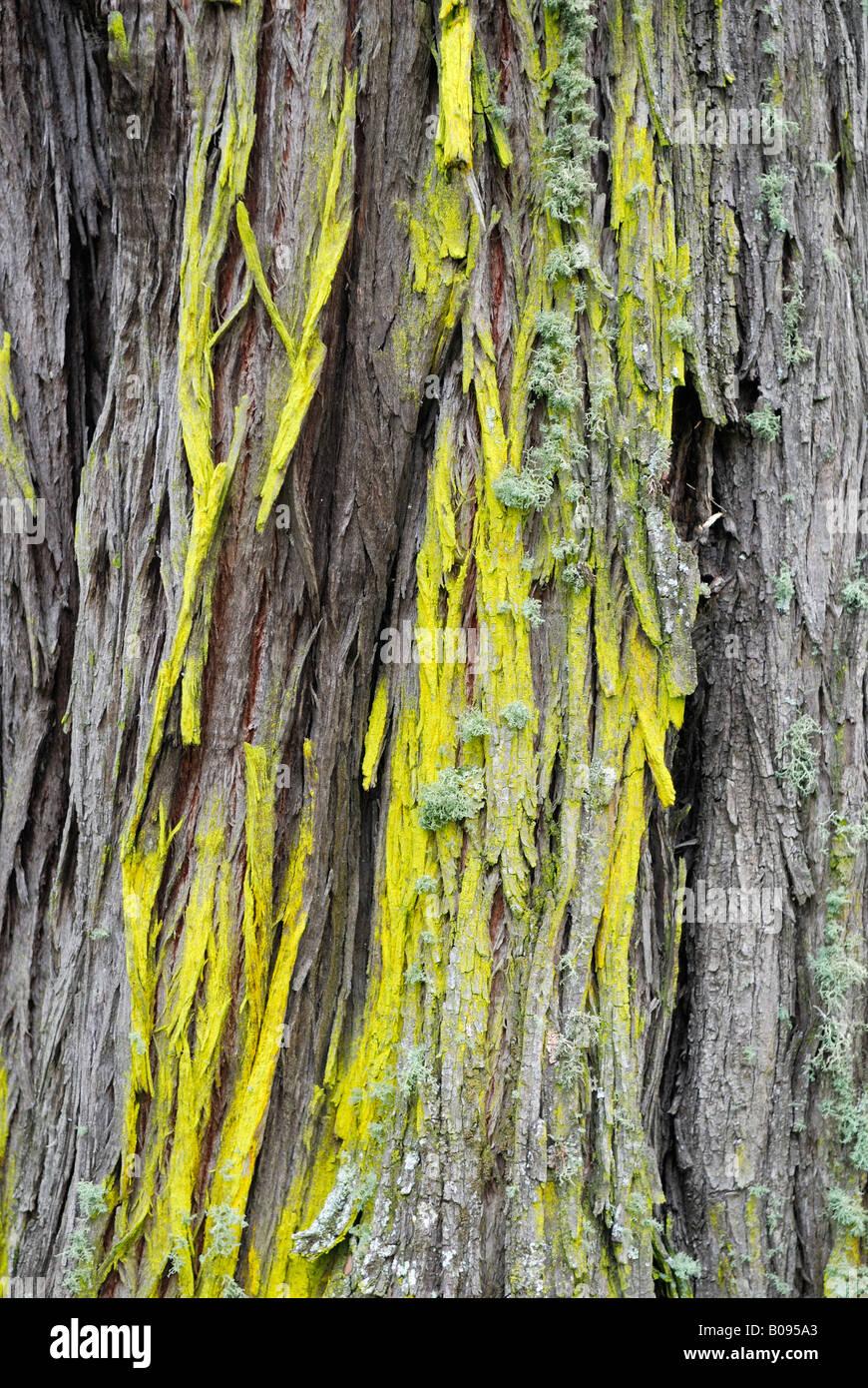 Lichen growing on the bark of a Tuart Tree (Eucalyptus gomphocephala), Tuart Forest National Park, Busselton, Western - Stock Image