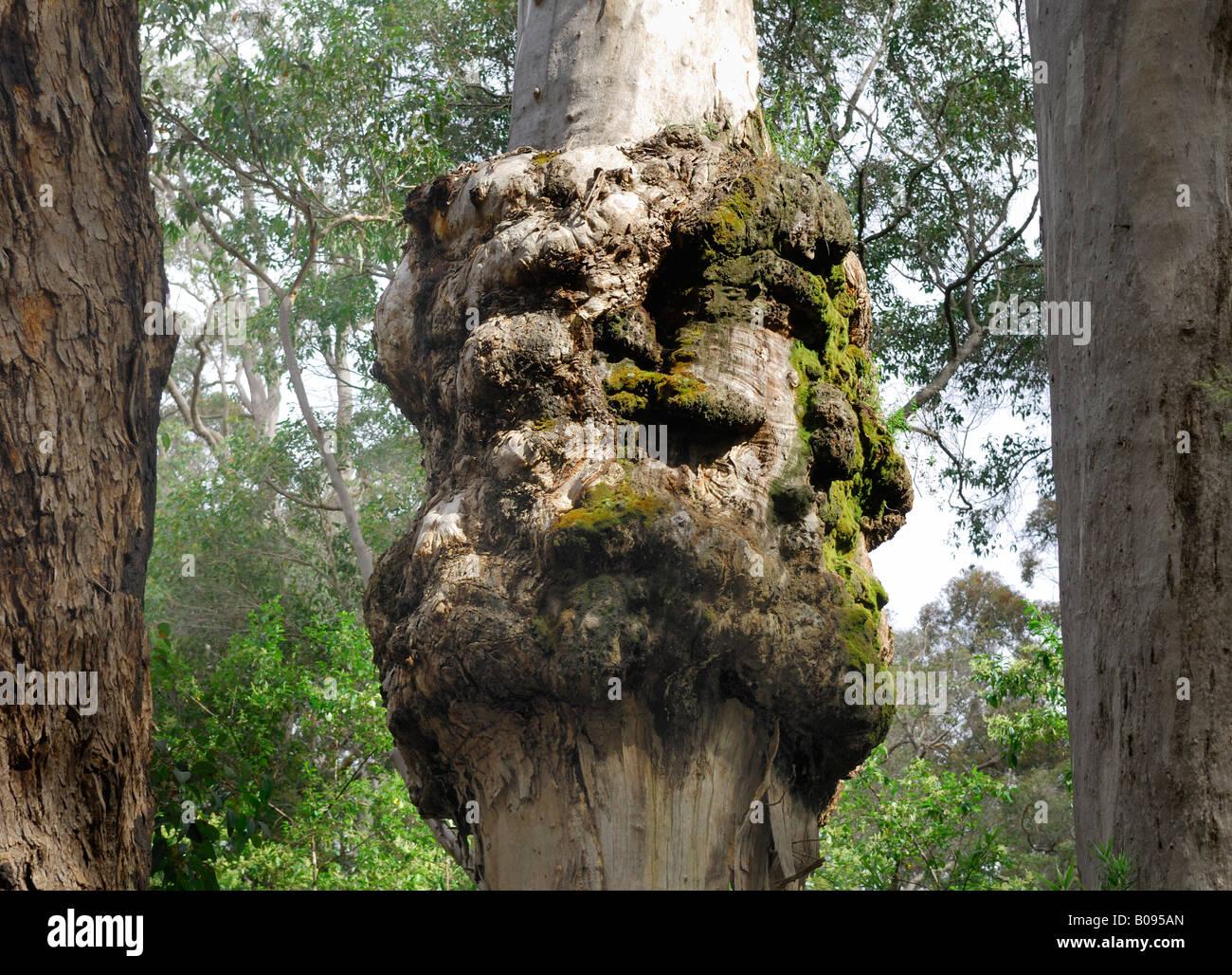 Tree cancer, diseased Karri Tree (Eucalyptus diversicolor), Warren National Park near Pemberton, Western Australia - Stock Image