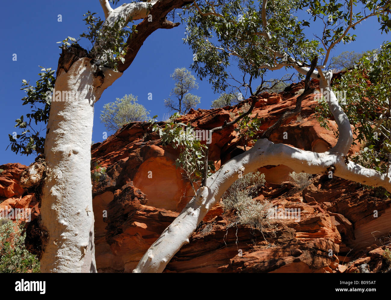 Eucalyptus with white bark against red rock formations in Kings Canyon, Watarrka National Park, Northern Territory, - Stock Image