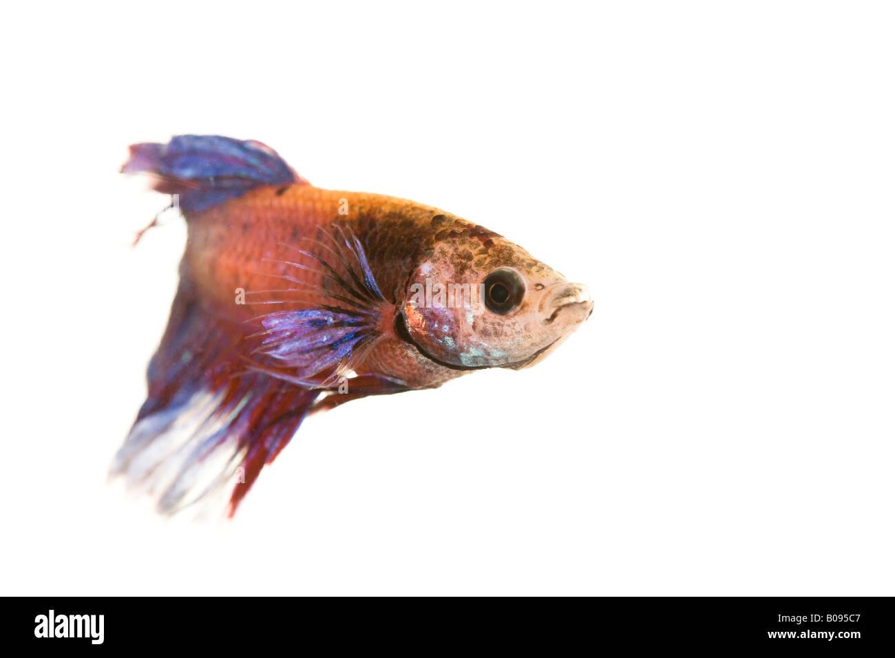 Siamese Fighting Fish, male (Betta splendens) Stock Photo