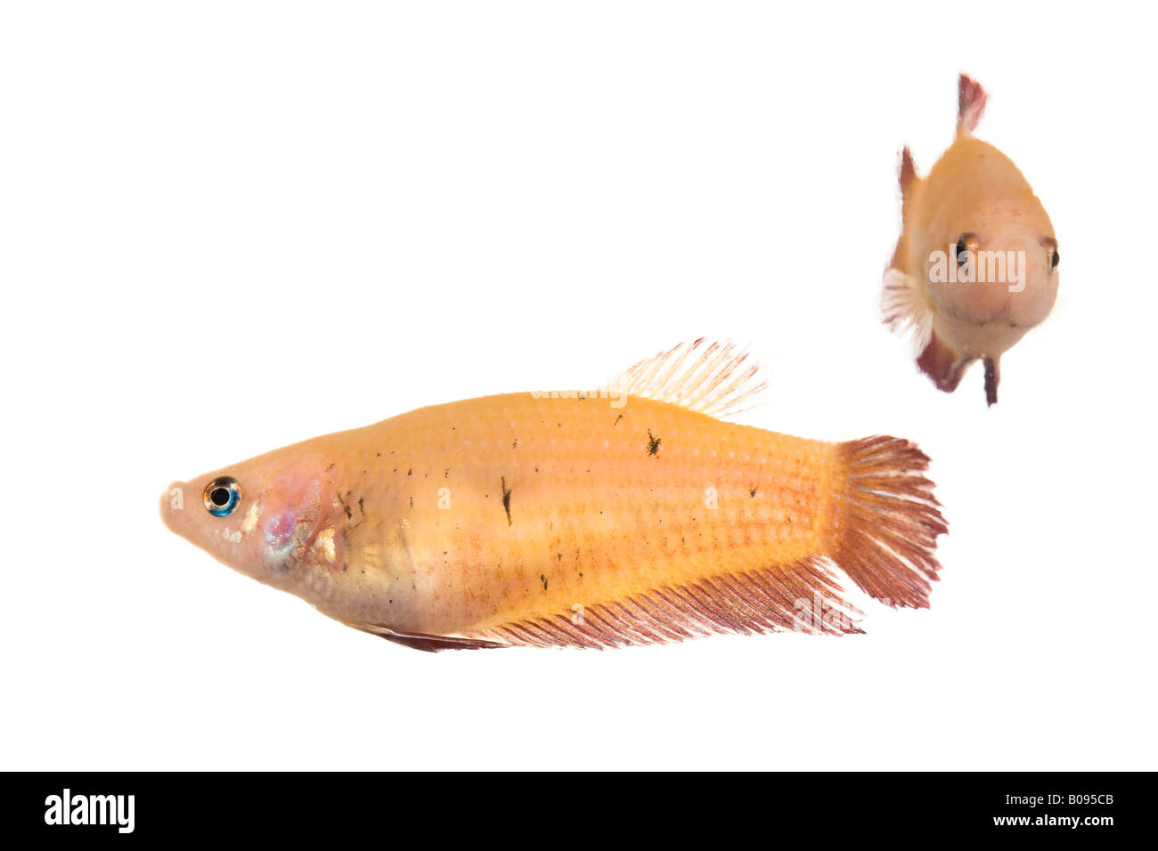 Siamese Fighting Fish, female (Betta splendens) Stock Photo