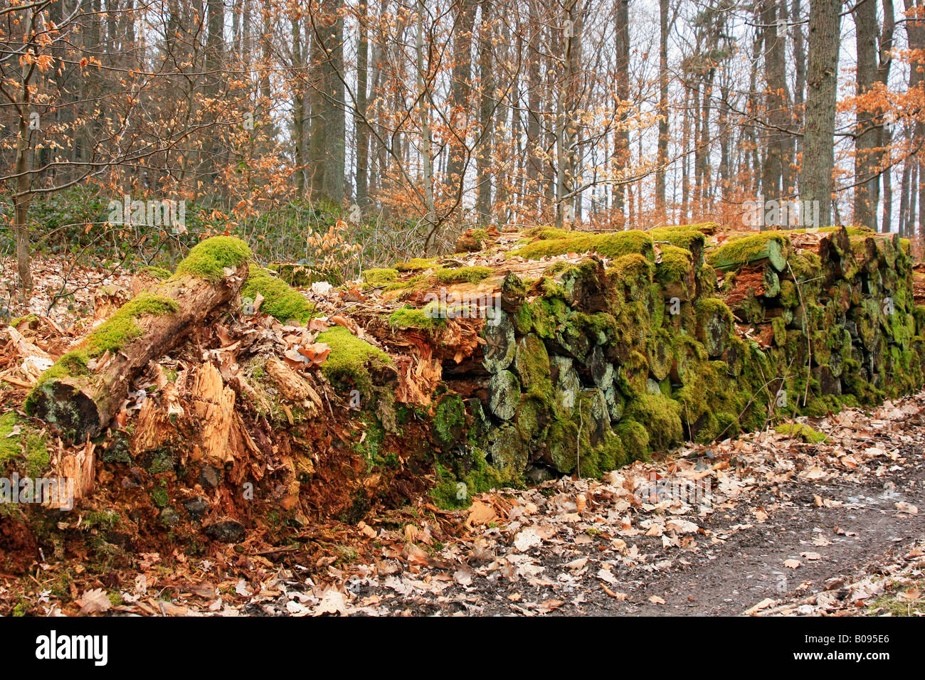 Moss covered logpile rotting beside a forest path, waste of natural resources - Stock Image