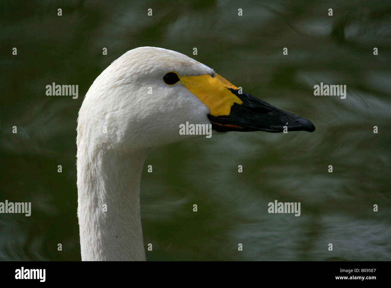 Tundra Swan (Cygnus columbianus bewickii) Stock Photo