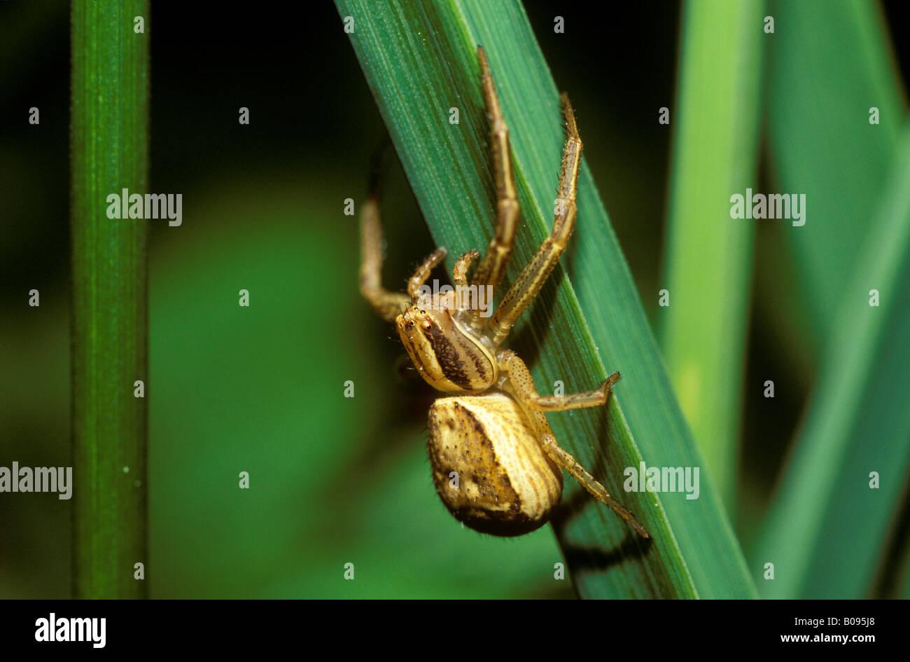 deutsche spinnen
