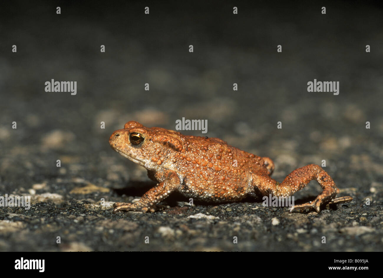 Young Common Toad (Bufo bufo) crossing a paved road Stock Photo