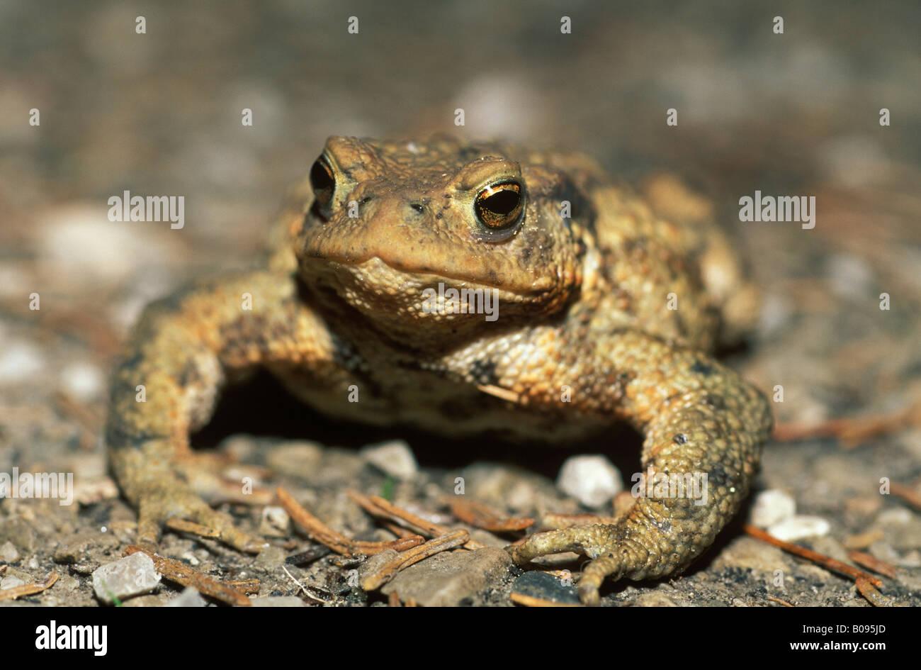 Common Toad (Bufo bufo), Germany, Europe Stock Photo