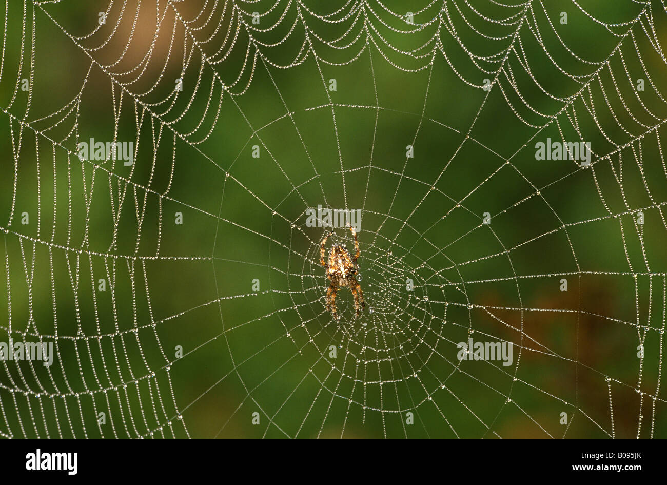 European Garden Spider or Cross Spider (Araneus diadematus), spiderweb - Stock Image