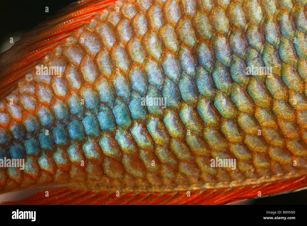 Detail, scales, Goyder River - or Banded Rainbow Fish (Melanotaenia trifasciata) native to Australia, warm water, - Stock Image