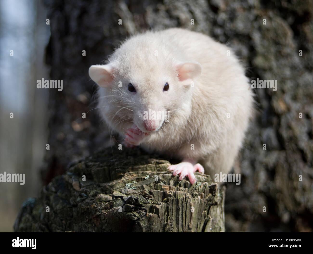 Dumbo Rat - Stock Image