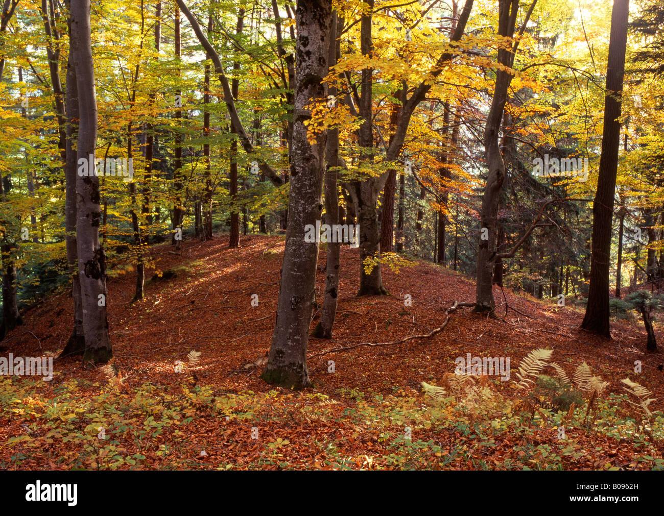 Beech grove (Fagus) in autumn, Bauhof, Vomp, Tyrol, Austria, Europe Stock Photo