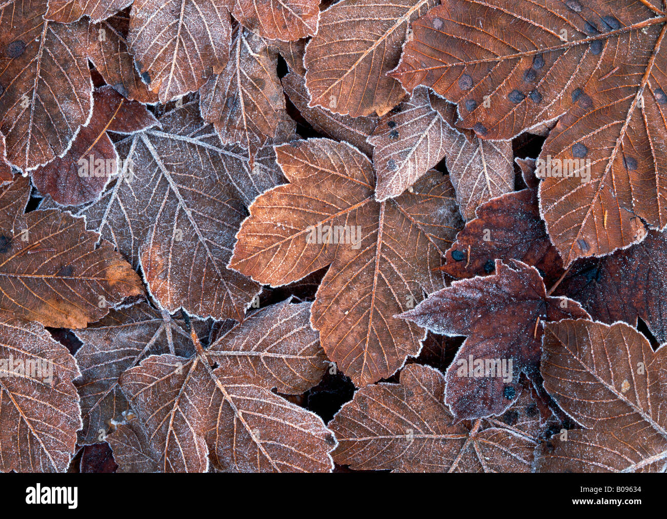 Frost-covered autumn leaves, Tirol, Austria Stock Photo