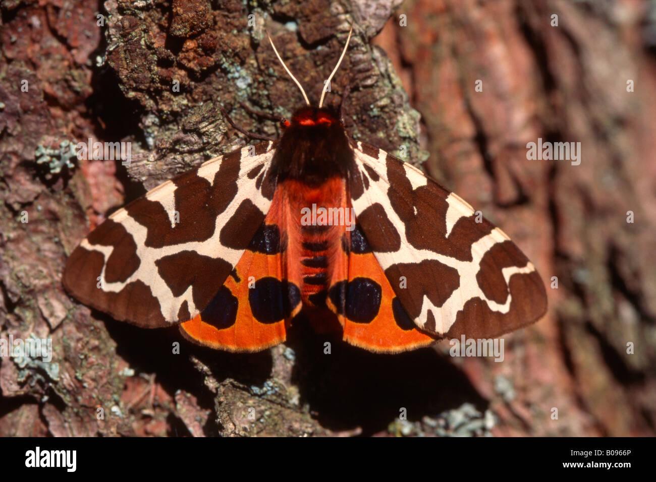 Garden Tiger Moth (Arctia caja), Tyrol, Austria, Europe Stock Photo ...
